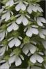 O.purpurea albín Baba 3