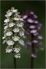 O.purpurea albín Chotuc 1
